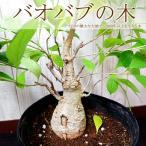 送料無料  バオバブの木  アダンソニア ディキタータ 希少品種 バオバブ