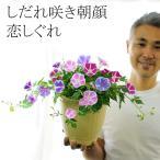 あさがお しだれ咲き 朝顔 恋しぐれ 6号(18センチの鉢)送料無料 2色以上の花色を寄せ植え