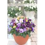 パンジー ムーランルージュ&ムーランフリルMIX 特大鉢寄せ植え 直径30センチの特大鉢にビッシリと植えてお届け!