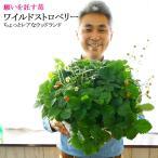 いちご 鉢 栽培 鉢植え 食べれる ワイルドストロベリー