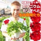 送料無料 ゼラニウム カリオペ 5号 2鉢セット よく咲く 花苗 鉢植え