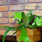送料無料 コウモリラン ネザーランド 木箱付き インテリア グリーン ビカクシダ 男前系インテリア 置き型 観葉植物 暑さに強い