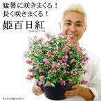姫サルスベリ(百日紅)送料無料 9号 猛暑に咲きまくる 暑さに強い 夏 鉢植え 毎年咲く 花