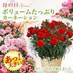 ショッピング母の日 母の日 カーネーション 鉢花 ギフト 送料無料 11種のカラーから選べる  プレゼント 鉢植えギフト ボリュームたっぷりカーネーション