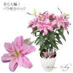 まだ間に合う 母の日人気! バラ咲き大輪ユリ ローズリリー ピンク 3本立ち 花 2021 ギフト 鉢植え プレゼント 花 関東送料無料