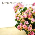5のつく日セール 母の日 ギフト カランコエ 鉢花 ステファニー 八重咲き 送料無料 大きな 鉢植え 2017 早割