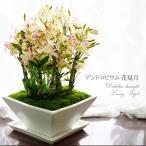 母の日ギフト 蘭 鉢植え デンドロビューム 花見月 LivingStyle 送料無料  陶器鉢仕様 ラン プレゼント 2017 ギフト 早割
