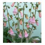 宿根草 ジギタリス デュービア 9センチポット 24苗セット 送料無料 多年草 耐寒性 卸売り 販売中