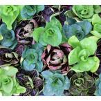宿根草 チコリ 9センチポット 24苗セット 送料無料 多年草 耐寒性 ガーデニング 花壇苗 花苗 卸売り