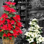 送料無料 本物の ポインセチア で仕立てた クリスマスツリー  ポインセチア Xmas 寒冷地(北海道・東北・長野ほか)へのお届け不可