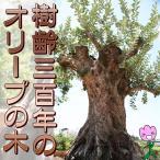 限定1 樹齢300年のオリーブの木 鉢植え 実物の見学も可能 全国配送料無料 庭木 常緑樹 オリーブ 苗木 植木 販売