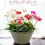 Yahoo!ゲキハナ初心者さんのお花屋さん鉢花 寄せ植え スプリング・ダンス レウイシア MIX 送料無料 贈りものにも 自分用にも 毎年咲く