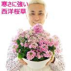 西洋桜草 寄せ植え 送料無料 寒さに強い さくらそう サクラソウ 鉢花ギフト