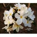 プルメリア ケンズホワイト Ken's White 5寸 1鉢 プルメリア苗【4寸5寸のプルメリア同士の同梱可能】