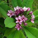 プルメリア パープルジャック purple jack 5寸 1鉢 プルメリア苗 販売 花苗