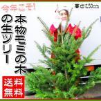 今年こそ 夢かなえる 本物モミの木の生ツリー 高さ:根鉢含め150cm前後 送料無料 もみの木 クリスマスツリー モミの木 本物