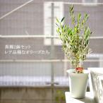 送料無料 オリーブの木 6寸 全7種 高さ30〜40cm チプレッシーノ アルベキーナ コロネイキ コラティーナ コレッジョラ バルネア ピクアル