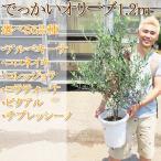 オリーブの木 8寸 全6種 高さ120cm前後 送料無料 チプレッシーノ アルベキーナ コロネイキ コラティーナ コレッジョラ ピクアル