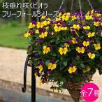 送料無料 枝垂れ咲く ビオラ フリーフォール 全6色 3.5寸 24苗セット ハンギングバスケットにふさわしいシルエットに育ちます