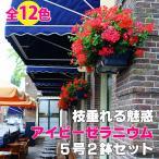 Yahoo!ゲキハナ初心者さんのお花屋さんアイビーゼラニウム カリオペ 5号鉢 2鉢セット 送料無料 ヨーロッパスタイル ハンギング ガーデニング