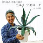 送料無料 耐寒性 アガベ アメリカーナ アオノリュウゼツラン 青の竜舌蘭 寒さにも強く庭植えが可能