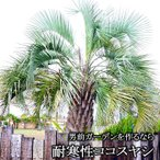 ココスヤシ 耐寒性 椰子 ヤシの木 リゾート系 植木 送料無料 ヤシ 販売