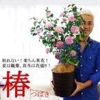 送料無料 椿  つばき 花  鉢植え プレゼント ギフト 枯れない 楽ちん茶花 7号 和テイスト