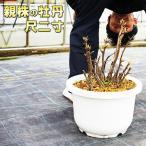 送料無料 親株の牡丹と寒牡丹 尺二寸(12号 36センチの鉢)アルハンブラック 蘭州暮色 建春門 オリエンタルゴールド