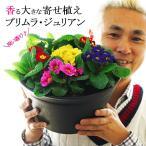 送料無料 プリムラ・ジュリアン 9号(直径27cmの鉢)玄関に飾ると素敵です 香る大きな鉢植え 2鉢まで同梱可能
