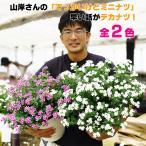 日々草 ニチニチソウ ミニナツ 8号大鉢 全2色 送料無料 鉢花  耐暑性 暑さに強い 夏の花
