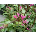10苗セット サルビア ローズシャンデリア salvia chiapensis 10.5cmポット ラッピング・メッセージカード不可 代引不可
