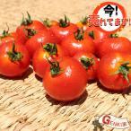 雅虎商城 - ミディトマト8〜10玉 佐賀七山・福岡糸島の新鮮野菜
