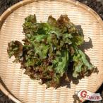 サニーレタス1株 佐賀七山・福岡糸島の新鮮野菜