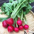 ラディッシュ&サラダ大根6?8個 佐賀七山・福岡糸島の新鮮野菜
