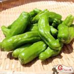 ししとう(シシトウ)1袋 佐賀七山・福岡糸島の新鮮野菜