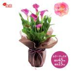 母の日 カラーチェリオ 5号鉢 MR37-9 花 バスケット 生花 鉢植 お取り寄せ お祝い おすすめ ギフト プレゼント メッセージカード 送料無料 MD予約