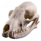 送料無料 インテリア 室内装飾ハロウィン ギフト フォックス樹脂頭蓋骨骨標本 正規輸入品
