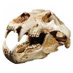 送料無料 インテリア 室内装飾ハロウィン ギフト ホワイト ベア樹脂頭蓋骨骨標本 正規輸入品