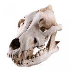 送料無料 インテリア 室内装飾ハロウィン ギフト狼樹脂頭蓋骨骨標本 正規輸入品