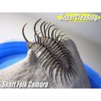 古生代デボン紀/モロッコ産/三葉虫/ショートフォーク・コムラ/3D化石/スーパークリーニング