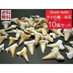 ������б�������λ������� �����λ� Shark teeth fossils 3�Хѥå���ꡡ���å���