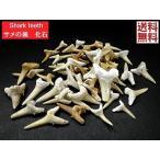 サメの歯 化石 ペンダント 3個セット売り 鮫の歯 Shark te...--648