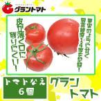 ミニトマト苗「グラントマト 」10.5cmポット 最高糖度14度を記録!【家庭菜園にもちょうど良い6ポット入り】