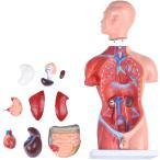 人体模型 【男性モデル リアルタイプ 44】 新品箱なし 人体解剖図 内臓 標本 パーツ取り外し可能 教材 学校 病院 JK-4325A
