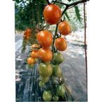 ミニトマト種 ピッコラ カナリア  パイオニアエコサイエンスのミニトマト品種です。