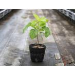 アジサイ アナベル 10.5cmポット 1本 1年間枯れ保証 春に花が咲く木