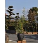 【1年間枯れ保証】【低木】ジャノメエリカ 7.5cmポット 【あすつく対応】