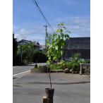 【1年間枯れ保証】【山林苗木】サンシュユ 0.5m 【あすつく対応】