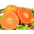 【1年間枯れ保証】【立木果樹】オレンジ/マーコット 15cmポット  【あすつく対応】