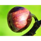 【1年間枯れ保証】【つる性果樹】イチジク/セレスト 15cmポット  3本セット 送料無料 【あすつく対応】